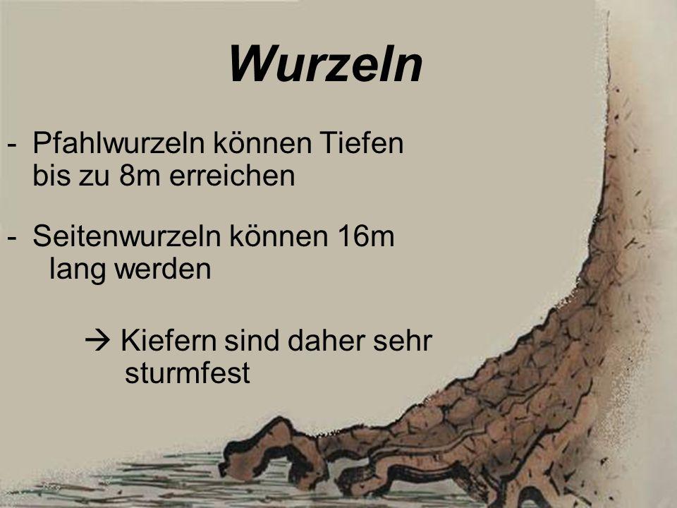 Wurzeln -Pfahlwurzeln können Tiefen bis zu 8m erreichen -Seitenwurzeln können 16m lang werden Kiefern sind daher sehr sturmfest