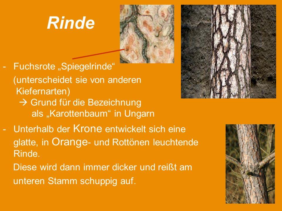 Rinde -Fuchsrote Spiegelrinde (unterscheidet sie von anderen Kiefernarten) Grund für die Bezeichnung als Karottenbaum in Ungarn -Unterhalb der Krone entwickelt sich eine glatte, in Orange - und Rottönen leuchtende Rinde.