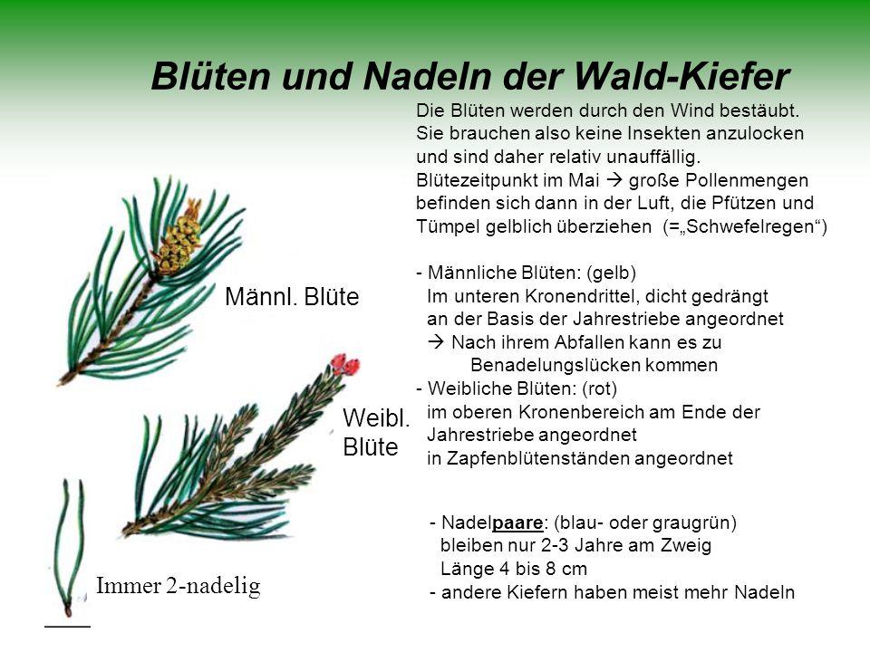Blüten und Nadeln der Wald-Kiefer Immer 2-nadelig Weibl. Blüte Männl. Blüte - Nadelpaare: (blau- oder graugrün) bleiben nur 2-3 Jahre am Zweig Länge 4
