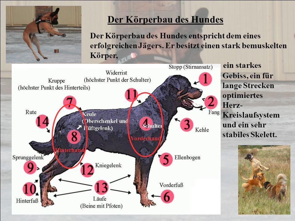 Der Körperbau des Hundes Der Körperbau des Hundes entspricht dem eines erfolgreichen Jägers. Er besitzt einen stark bemuskelten Körper, ein starkes Vo
