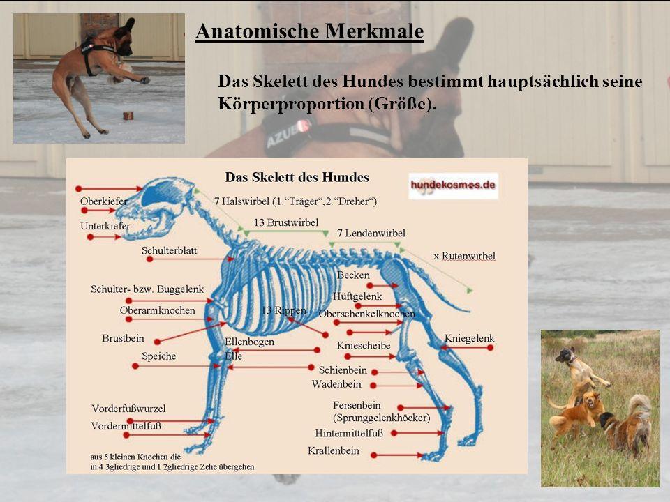 Anatomische Merkmale Das Skelett des Hundes bestimmt hauptsächlich seine Körperproportion (Größe).