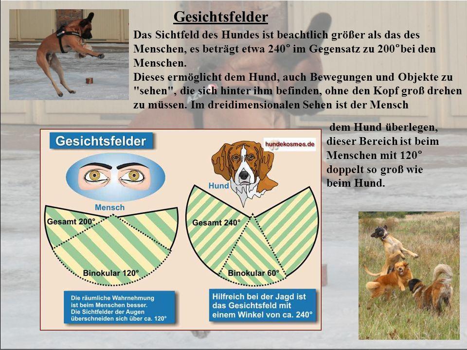 Gesichtsfelder Das Sichtfeld des Hundes ist beachtlich größer als das des Menschen, es beträgt etwa 240° im Gegensatz zu 200°bei den Menschen. Dieses