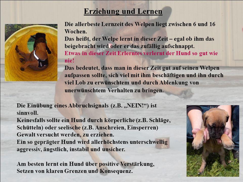 Erziehung und Lernen Die allerbeste Lernzeit des Welpen liegt zwischen 6 und 16 Wochen. Das heißt, der Welpe lernt in dieser Zeit – egal ob ihm das be