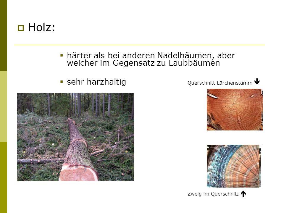 Holz: härter als bei anderen Nadelbäumen, aber weicher im Gegensatz zu Laubbäumen sehr harzhaltig Querschnitt Lärchenstamm Zweig im Querschnitt