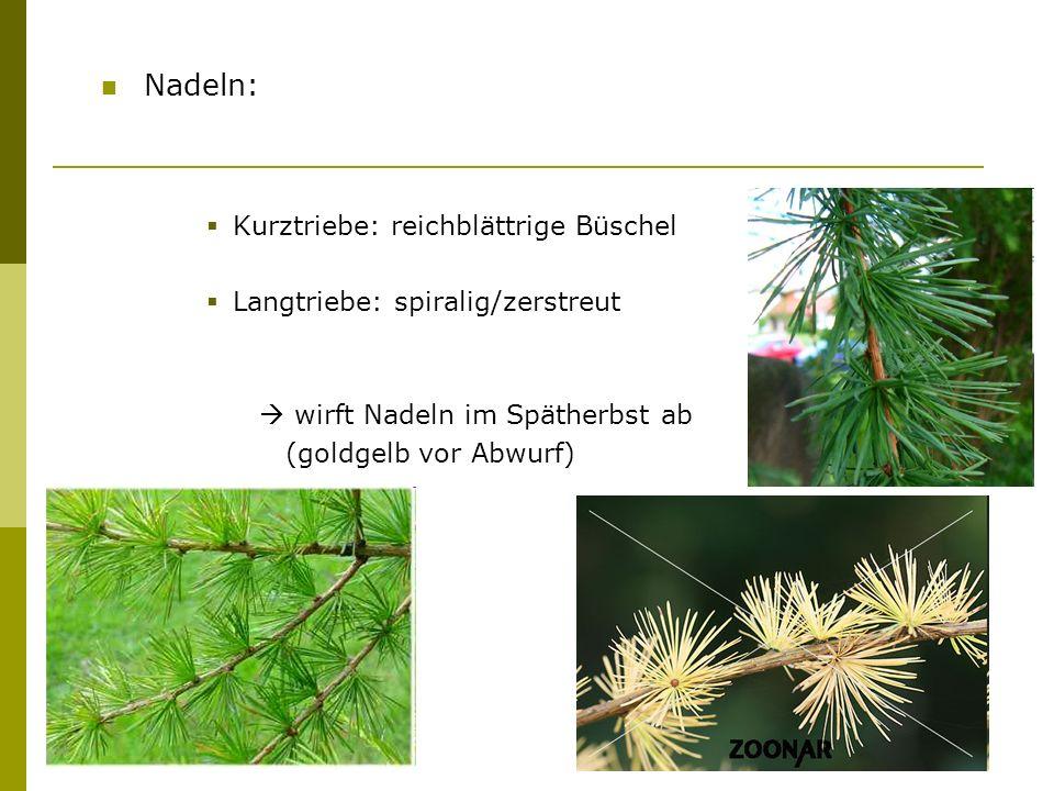 Blüten: einhäusig männliche: eiförmig, gelbe Kätzchen (hängend) weibliche: stehend, rosa/ dunkelrot (vergrünen im Herbst) Blütezeit: April/Mai
