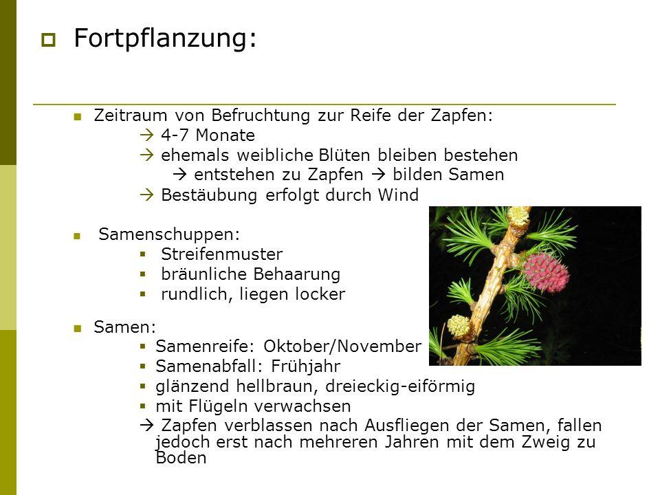 Fortpflanzung: Zeitraum von Befruchtung zur Reife der Zapfen: 4-7 Monate ehemals weibliche Blüten bleiben bestehen entstehen zu Zapfen bilden Samen Be
