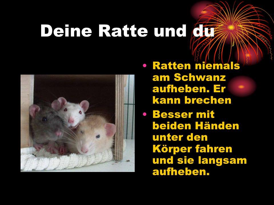 Deine Ratte und du Ratten niemals am Schwanz aufheben. Er kann brechen Besser mit beiden Händen unter den Körper fahren und sie langsam aufheben.