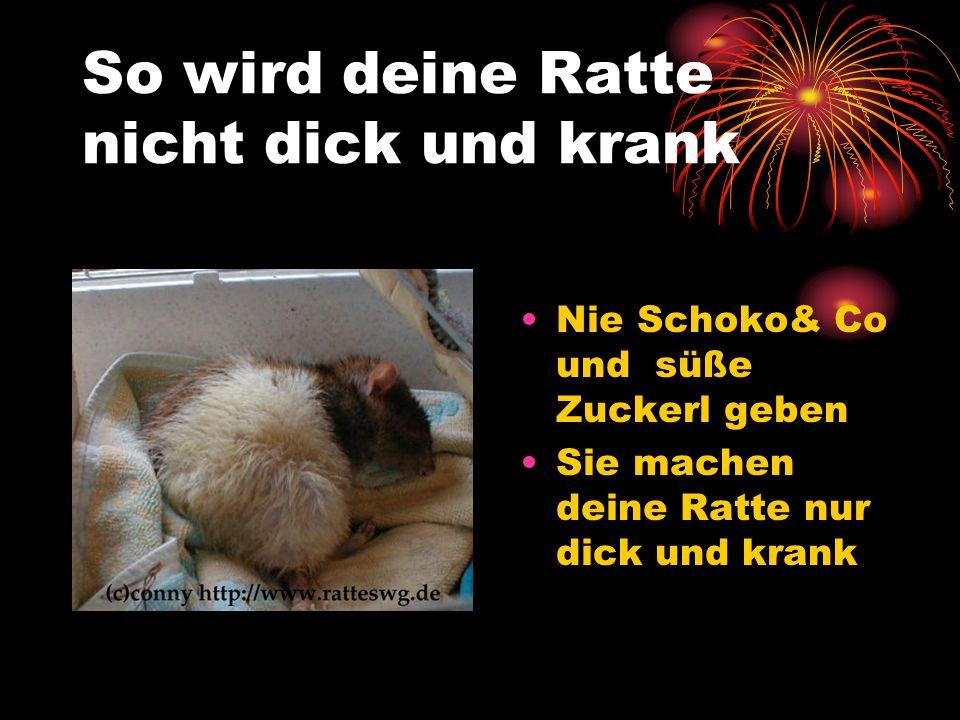 So wird deine Ratte nicht dick und krank Nie Schoko& Co und süße Zuckerl geben Sie machen deine Ratte nur dick und krank
