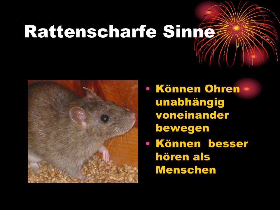 Rattenscharfe Sinne Können Ohren unabhängig voneinander bewegen Können besser hören als Menschen
