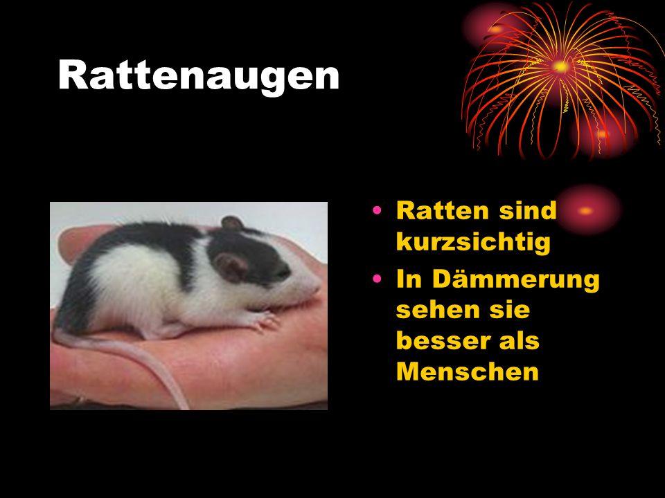 Rattenaugen Ratten sind kurzsichtig In Dämmerung sehen sie besser als Menschen