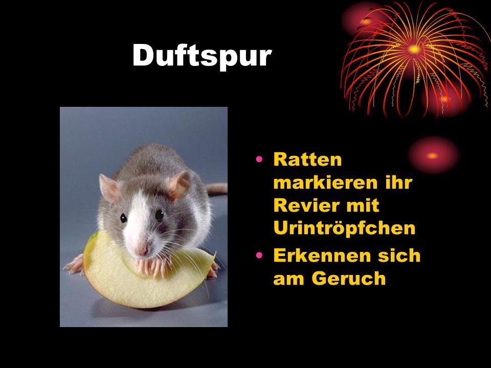Duftspur Ratten markieren ihr Revier mit Urintröpfchen Erkennen sich am Geruch