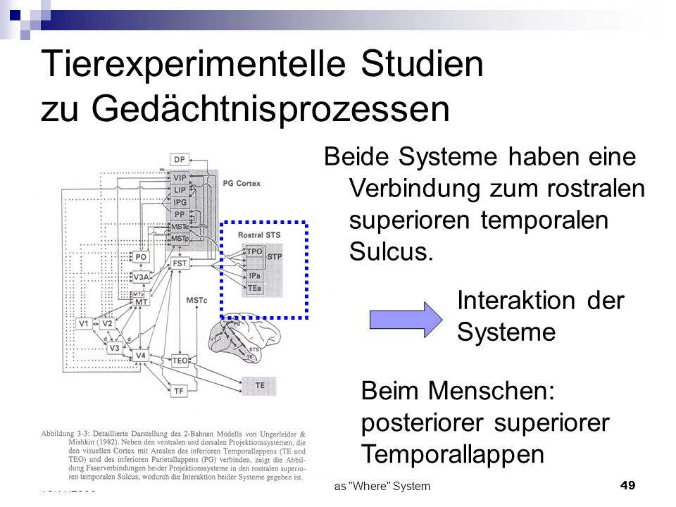 Das What und das Where System50 13.11.2006 Relevanz für menschliches Gehirn Zum Beispiel das Areal MT im Makkakengehirn gilt als homolog zu Regionen in lateralen occipito- temporo-parietalen Cortex.