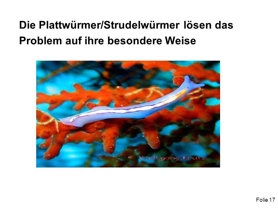 Folie 17 Die Plattwürmer/Strudelwürmer lösen das Problem auf ihre besondere Weise