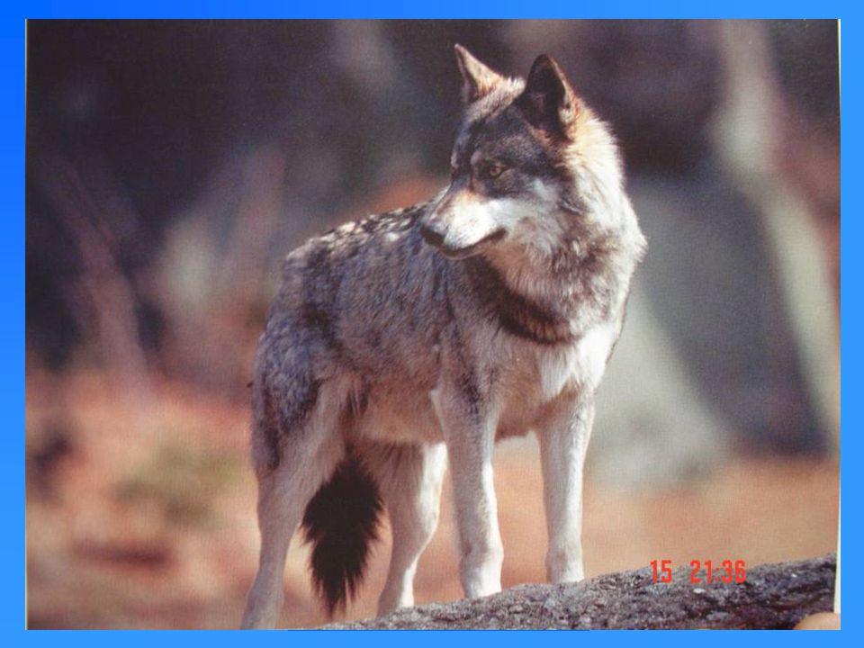 Wesen und Verhalten von Hunden Hunde gehören zur Ordnung der Raubtiere oder Fleischfresser ( Karnivoren).
