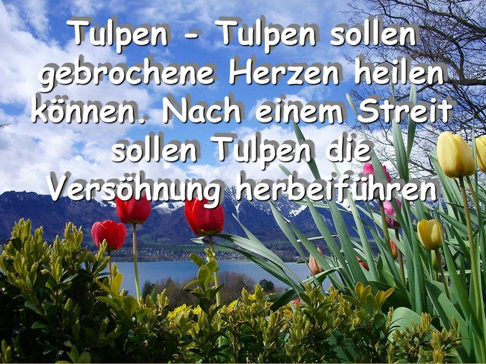 Tulpen - Tulpen sollen gebrochene Herzen heilen können. Nach einem Streit sollen Tulpen die Versöhnung herbeiführen