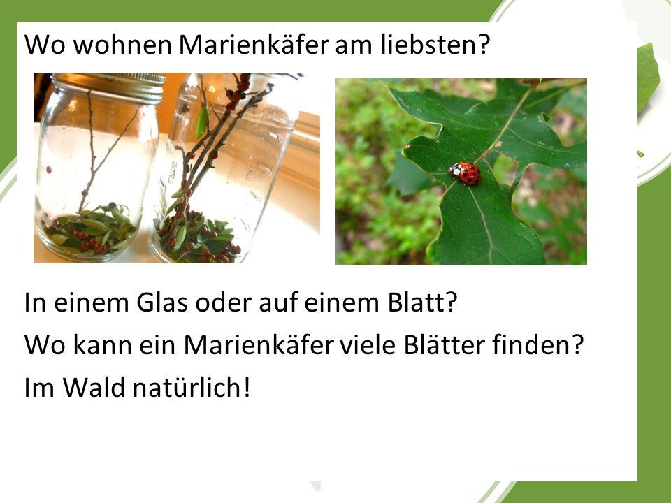 Wo wohnen Marienkäfer am liebsten? In einem Glas oder auf einem Blatt? Wo kann ein Marienkäfer viele Blätter finden? Im Wald natürlich!
