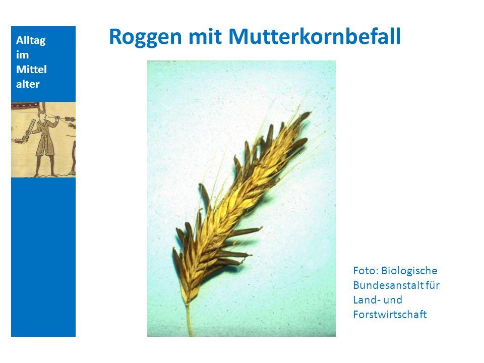 Alltag im Mittel alter Foto: Biologische Bundesanstalt für Land- und Forstwirtschaft Roggen mit Mutterkornbefall
