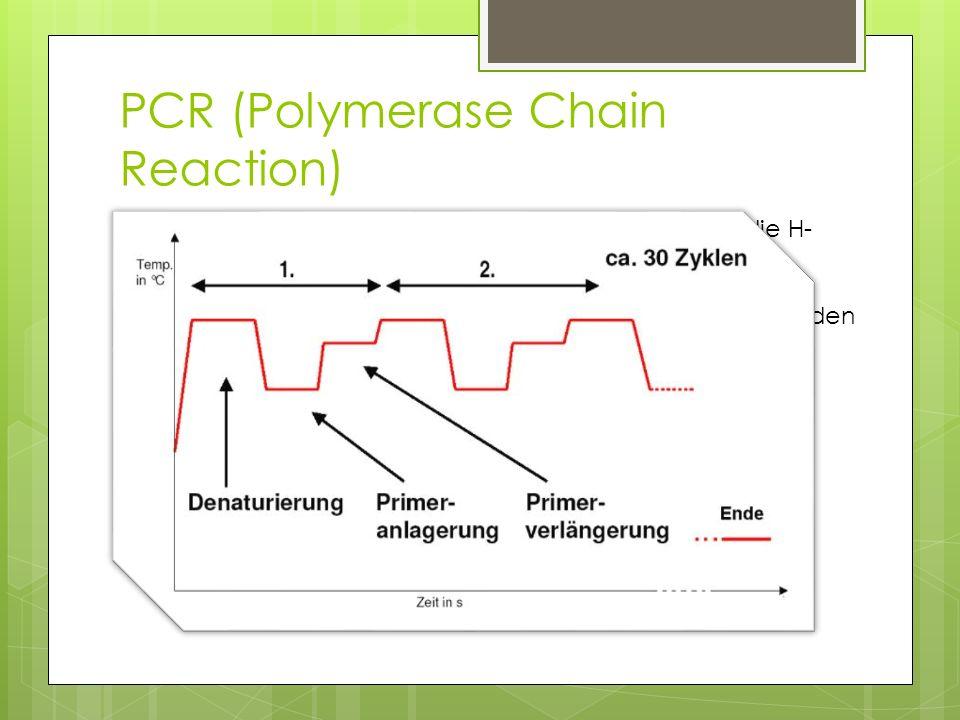 Gelelektrophorese Da die DNA negativ geladen ist, wandert diese vom negativen Pol hin zum Positiven Diese Wanderung wird durch Gel behindert Kurze Moleküle werden weniger stark behindert und wandern in gleicher Zeit weiter als Längere