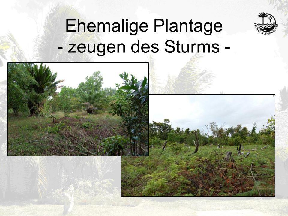 Ehemalige Plantage - zeugen des Sturms -