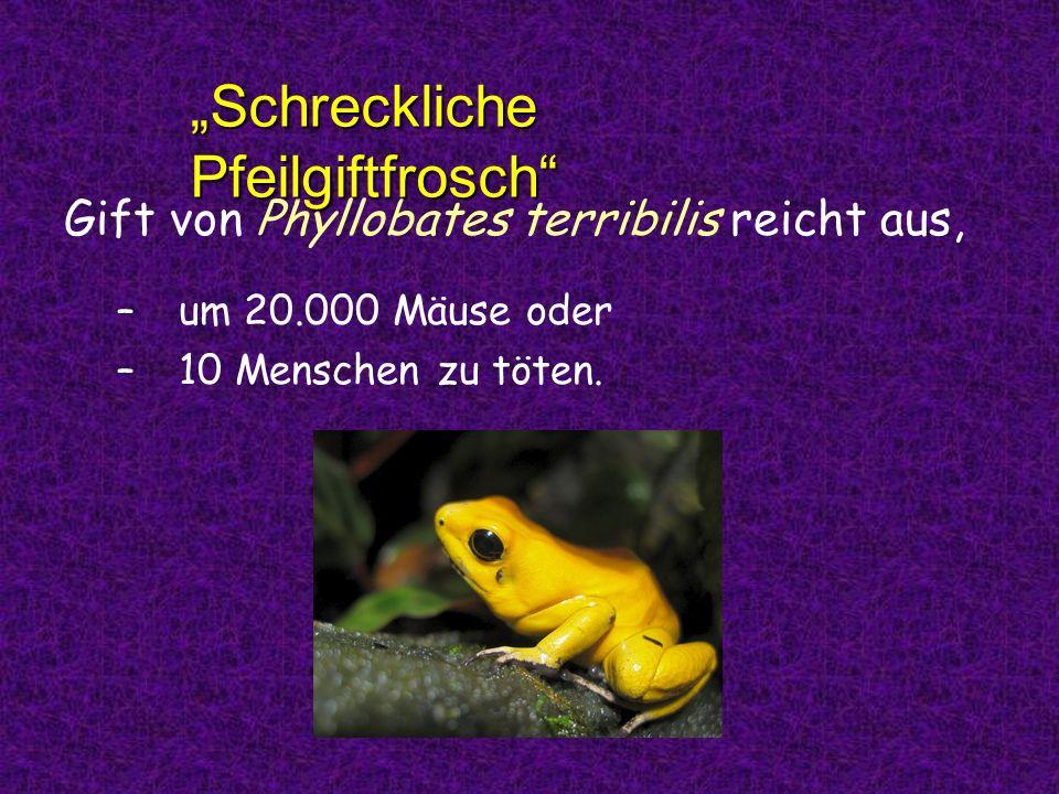 Gift von Phyllobates terribilis reicht aus, –u–um 20.000 Mäuse oder –1–10 Menschen zu töten. Schreckliche Pfeilgiftfrosch