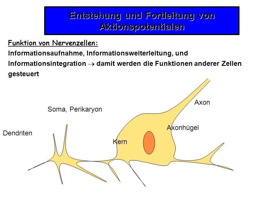 Entstehung und Fortleitung von Aktionspotentialen Funktion von Nervenzellen: Informationsaufnahme, Informationsweiterleitung, und Informationsintegrat