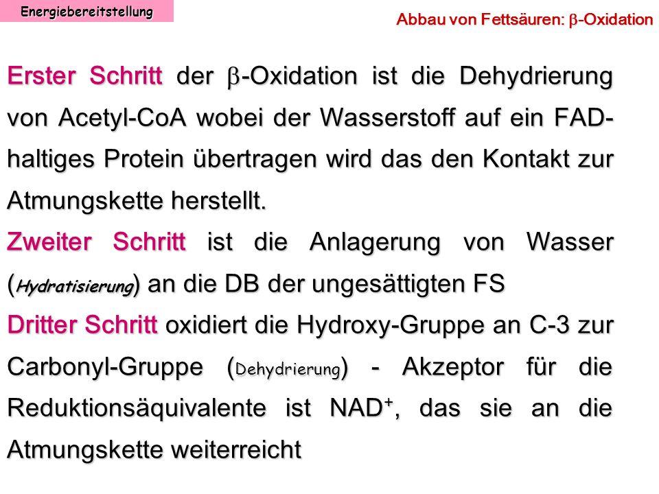 Energiebereitstellung Abbau von Fettsäuren: -Oxidation Erster Schritt der -Oxidation ist die Dehydrierung von Acetyl-CoA wobei der Wasserstoff auf ein
