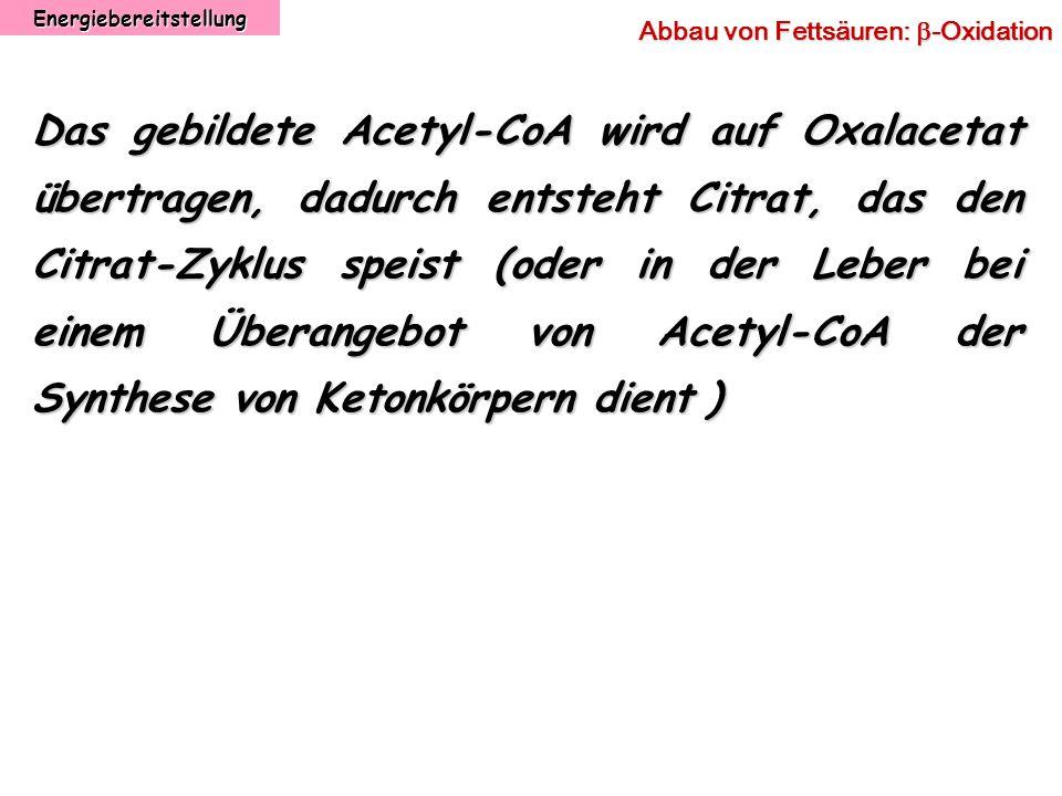 Energiebereitstellung Abbau von Fettsäuren: -Oxidation Das gebildete Acetyl-CoA wird auf Oxalacetat übertragen, dadurch entsteht Citrat, das den Citra