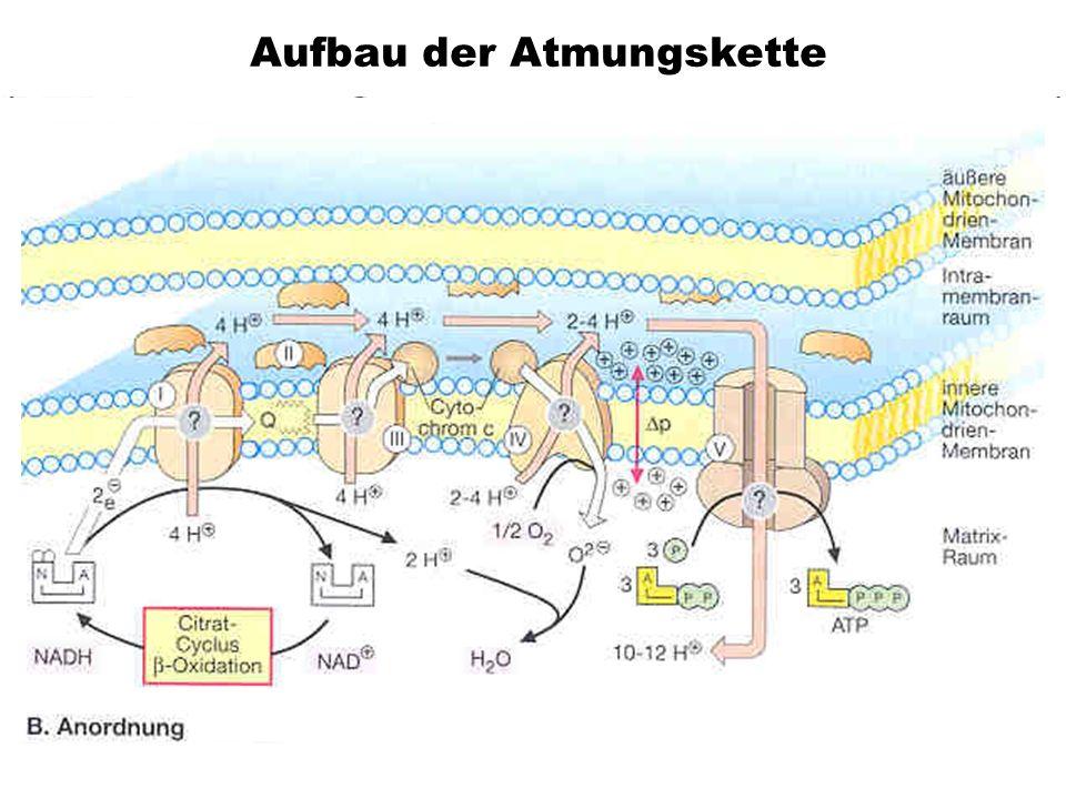 Aufbau der Atmungskette