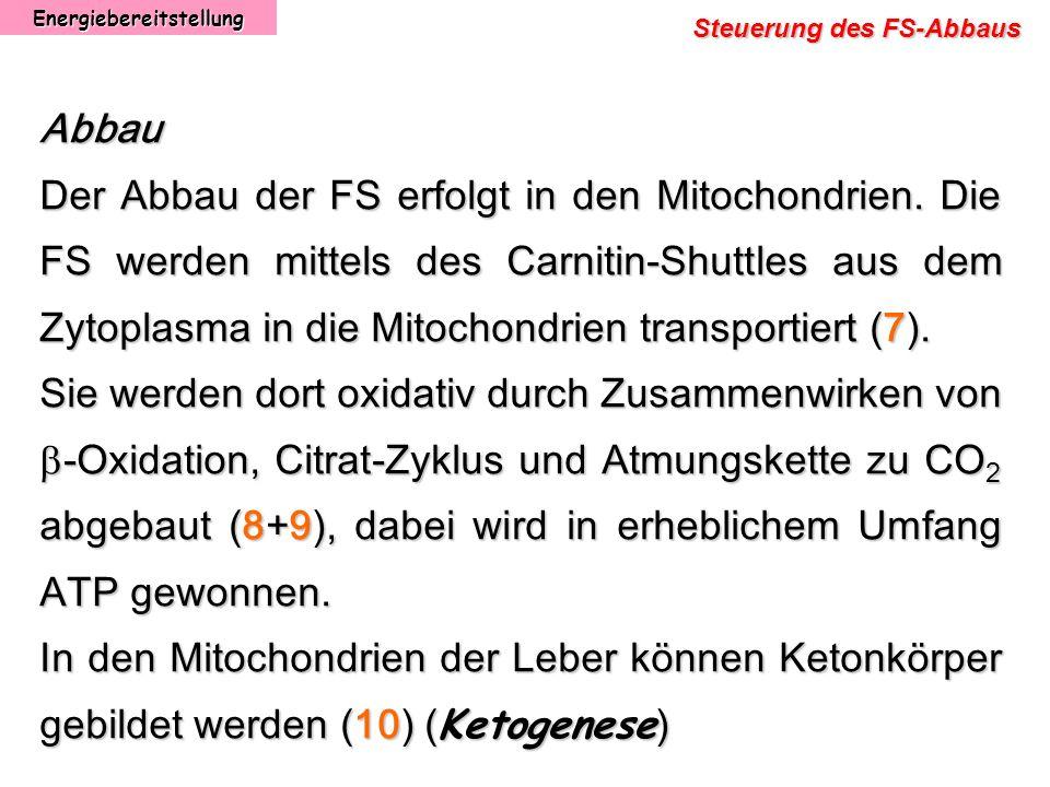 Energiebereitstellung Steuerung des FS-Abbaus Abbau Der Abbau der FS erfolgt in den Mitochondrien. Die FS werden mittels des Carnitin-Shuttles aus dem
