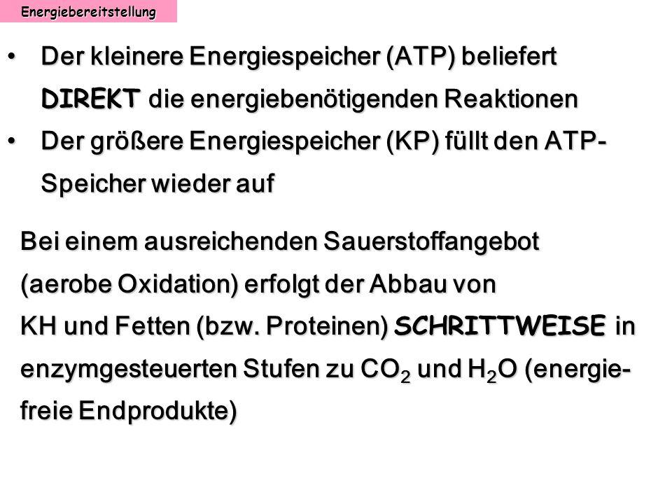 Energiebereitstellung Bei einem ausreichenden Sauerstoffangebot (aerobe Oxidation) erfolgt der Abbau von KH und Fetten (bzw. Proteinen) SCHRITTWEISE i