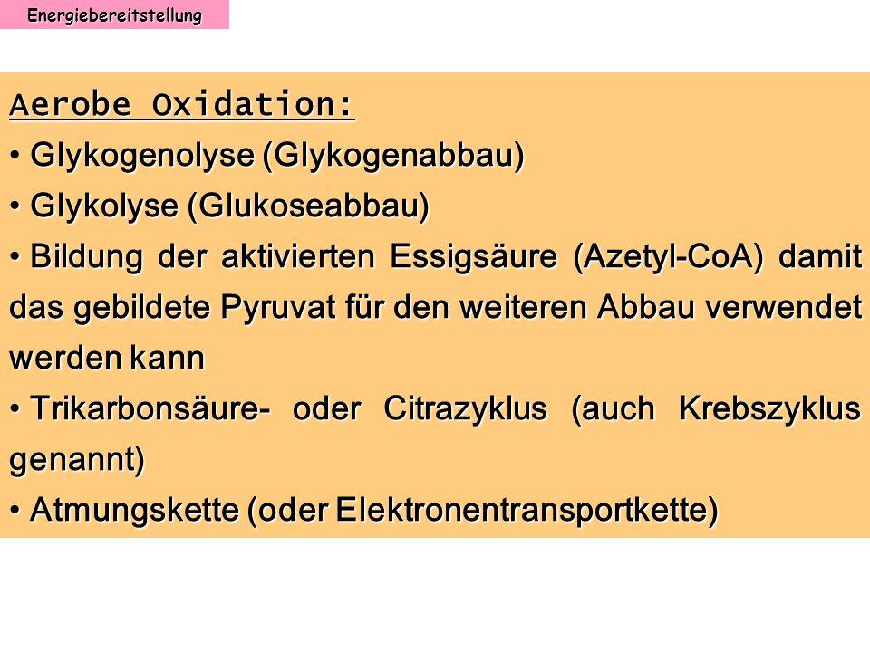 Energiebereitstellung Aerobe Oxidation: Glykogenolyse (Glykogenabbau) Glykolyse (Glukoseabbau) Glykolyse (Glukoseabbau) Bildung der aktivierten Essigs