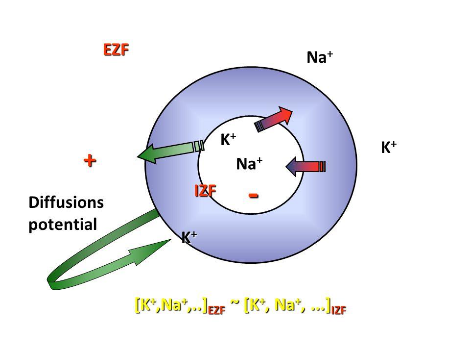 K+K+ Na + K+K+ IZF EZF Diffusionspotential + - K+K+K+K+ [K +,Na +,..] EZF ~ [K +, Na +,...] IZF