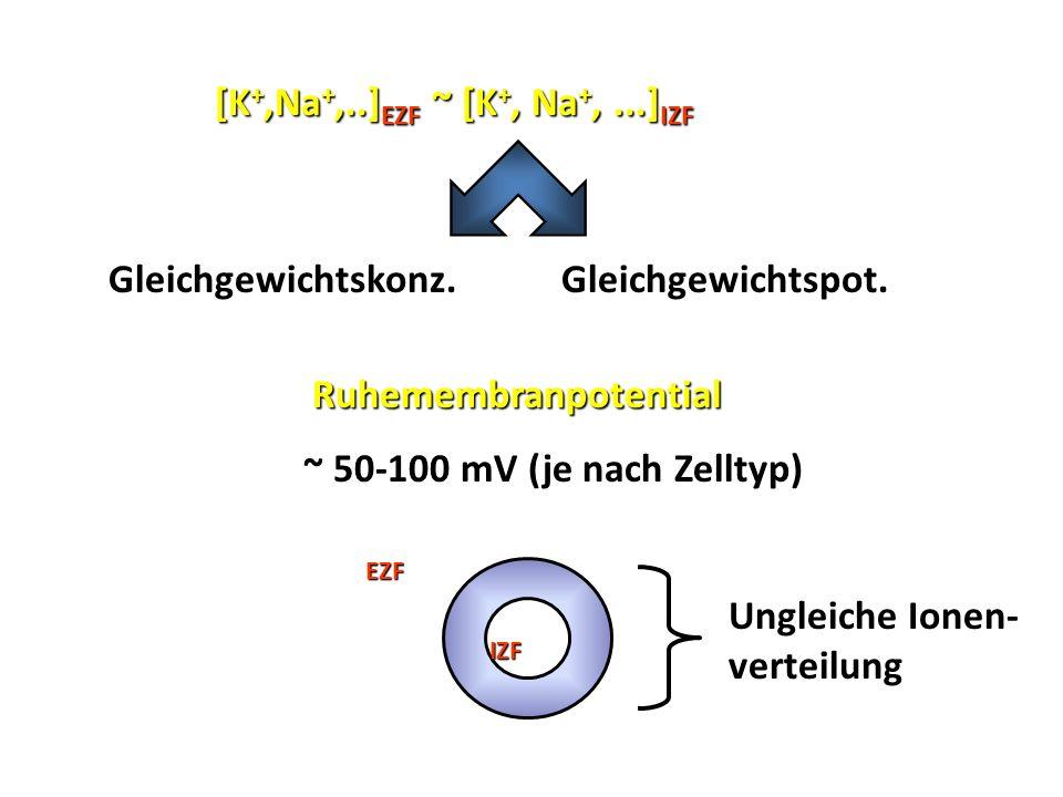 Gleichgewichtskonz. Gleichgewichtspot. Gleichgewichtspot. Ruhemembranpotential Ruhemembranpotential ~ 50-100 mV (je nach Zelltyp) EZF IZF Ungleiche Io