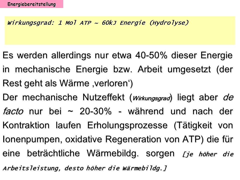 Energiebereitstellung Wirkungsgrad: 1 Mol ATP ~ 60kJ Energie (Hydrolyse) Es werden allerdings nur etwa 40-50% dieser Energie in mechanische Energie bz