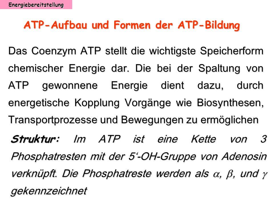 Energiebereitstellung ATP-Aufbau und Formen der ATP-Bildung Das Coenzym ATP stellt die wichtigste Speicherform chemischer Energie dar. Die bei der Spa