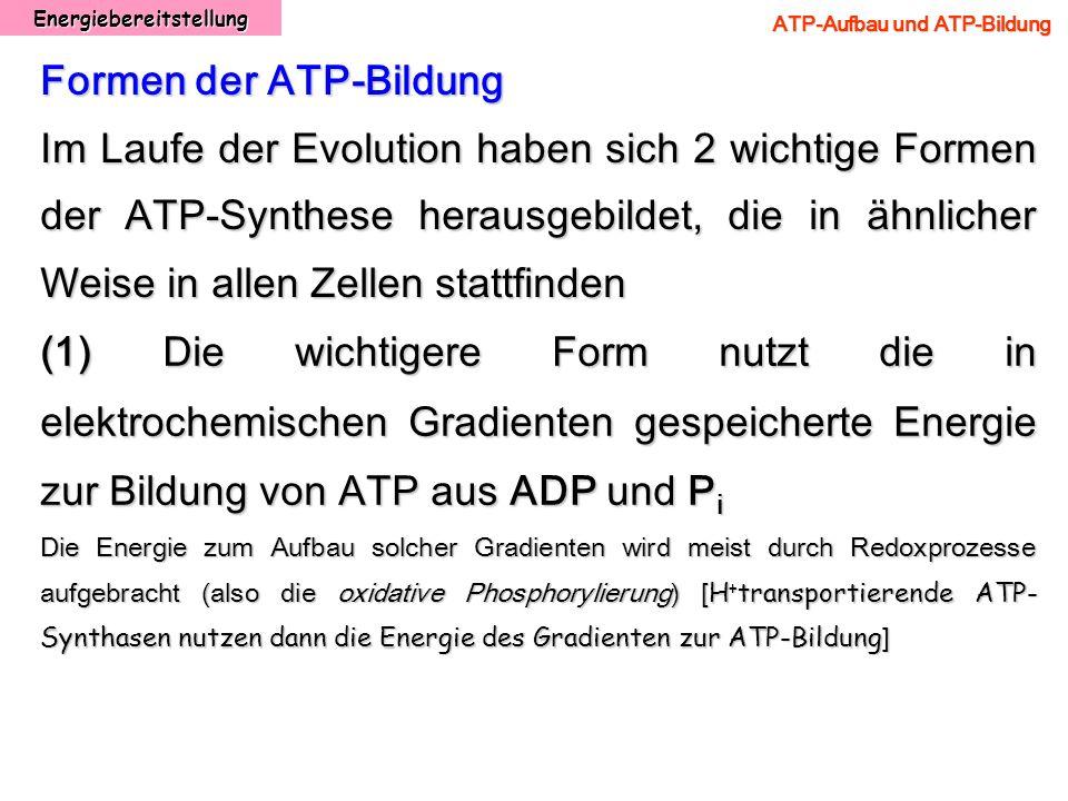 Energiebereitstellung ATP-Aufbau und ATP-Bildung Formen der ATP-Bildung Im Laufe der Evolution haben sich 2 wichtige Formen der ATP-Synthese herausgeb