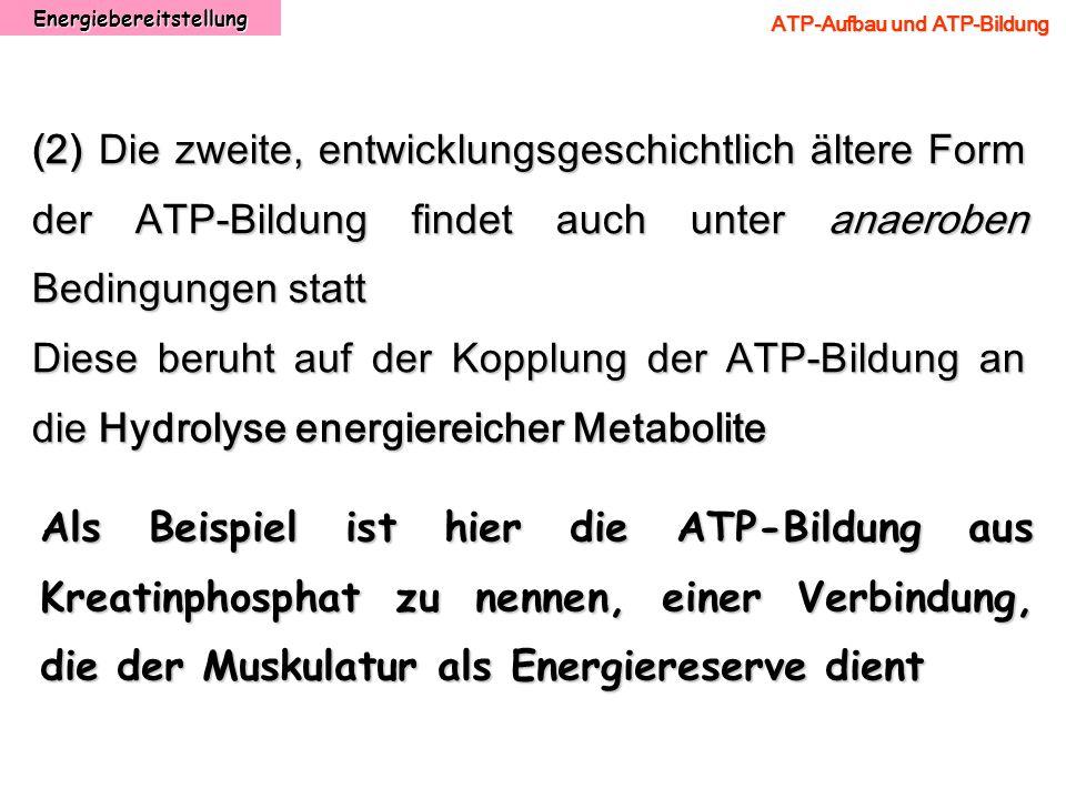 Energiebereitstellung ATP-Aufbau und ATP-Bildung (2) Die zweite, entwicklungsgeschichtlich ältere Form der ATP-Bildung findet auch unter anaeroben Bed