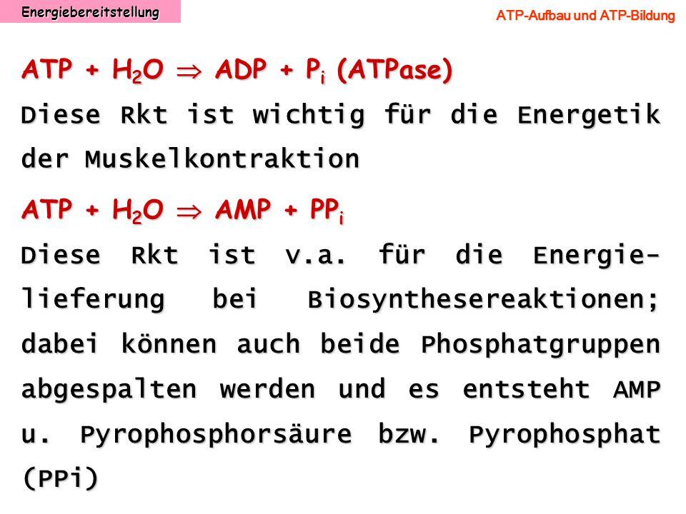 Energiebereitstellung ATP-Aufbau und ATP-Bildung ATP + H 2 O ADP + P i (ATPase) Diese Rkt ist wichtig für die Energetik der Muskelkontraktion ATP + H