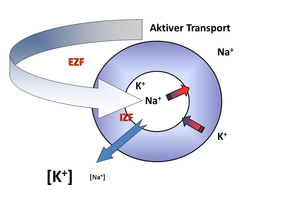 K+K+ Na + K+K+ IZF EZF [K + ] Aktiver Transport [Na + ]