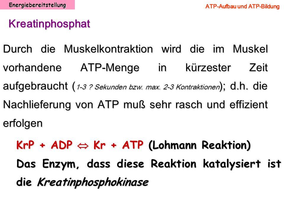 Energiebereitstellung ATP-Aufbau und ATP-Bildung Kreatinphosphat Durch die Muskelkontraktion wird die im Muskel vorhandene ATP-Menge in kürzester Zeit