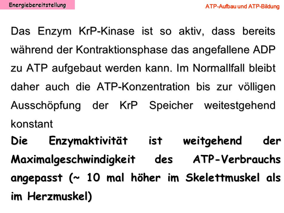 Energiebereitstellung ATP-Aufbau und ATP-Bildung Das Enzym KrP-Kinase ist so aktiv, dass bereits während der Kontraktionsphase das angefallene ADP zu