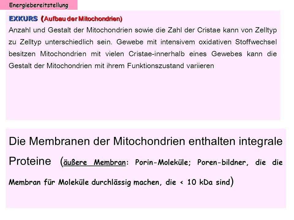 Energiebereitstellung EXKURS ( Aufbau der Mitochondrien) Anzahl und Gestalt der Mitochondrien sowie die Zahl der Cristae kann von Zelltyp zu Zelltyp u