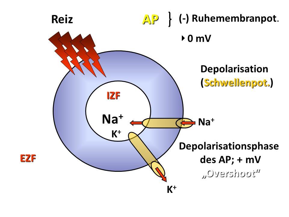 K+ K+ K+ K+ Na + K+K+K+K+ IZF EZF Reiz AP (-) Ruhemembranpot (-) Ruhemembranpot. 0 mV Depolarisation (Schwellenpot.) Depolarisationsphase des AP; + mV