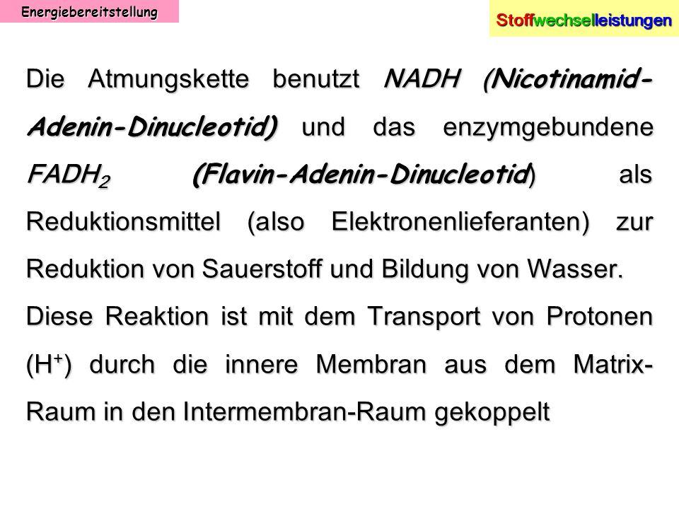 Energiebereitstellung Stoffwechselleistungen Die Atmungskette benutzt NADH ( Nicotinamid- Adenin-Dinucleotid) und das enzymgebundene FADH 2 (Flavin-Ad