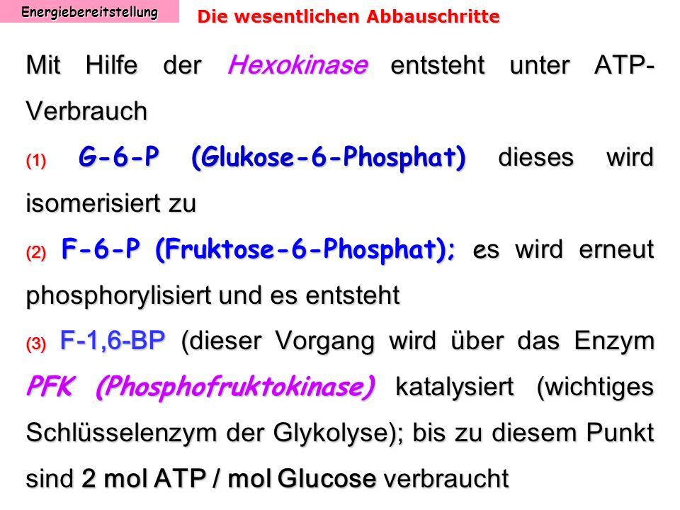 Energiebereitstellung Die wesentlichen Abbauschritte Mit Hilfe der Hexokinase entsteht unter ATP- Verbrauch (1) G-6-P (Glukose-6-Phosphat) dieses wird