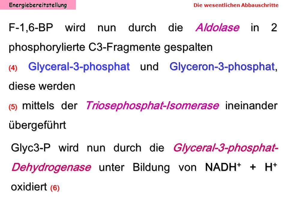 Energiebereitstellung Die wesentlichen Abbauschritte F-1,6-BP wird nun durch die Aldolase in 2 phosphorylierte C3-Fragmente gespalten (4) Glyceral-3-p