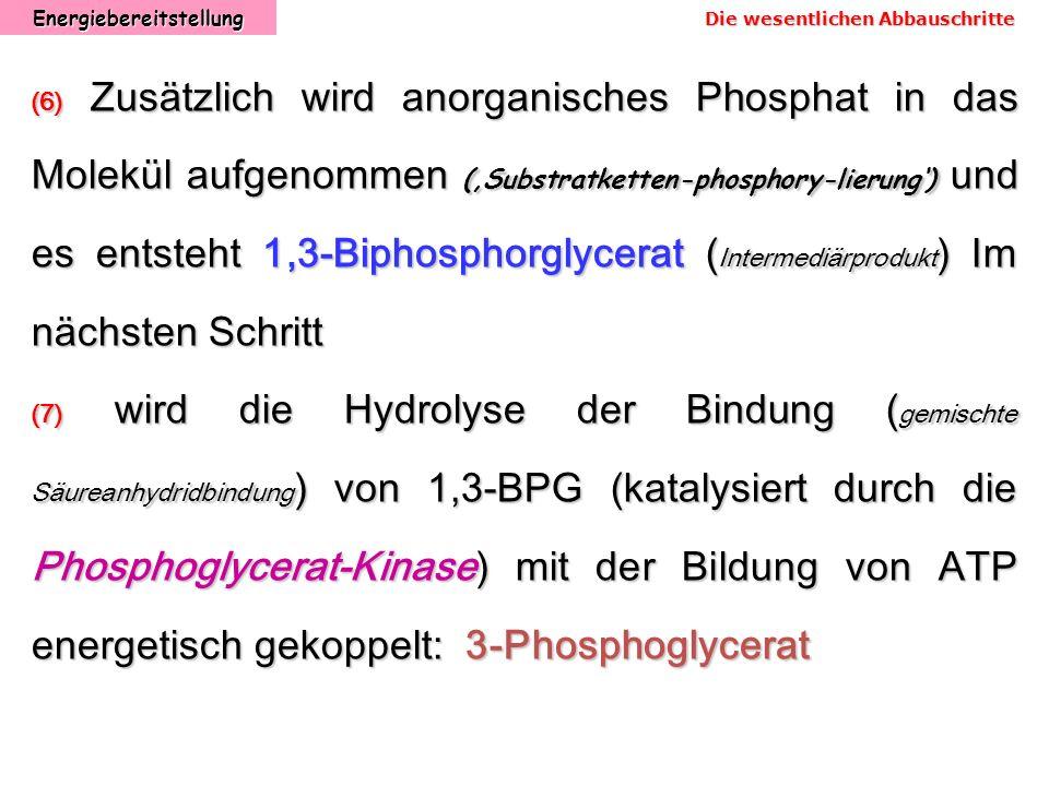 Energiebereitstellung (6) Zusätzlich wird anorganisches Phosphat in das Molekül aufgenommen (Substratketten-phosphory-lierung) und es entsteht 1,3-Bip