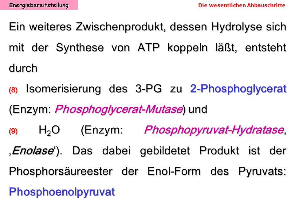 Energiebereitstellung Ein weiteres Zwischenprodukt, dessen Hydrolyse sich mit der Synthese von ATP koppeln läßt, entsteht durch (8) Isomerisierung des