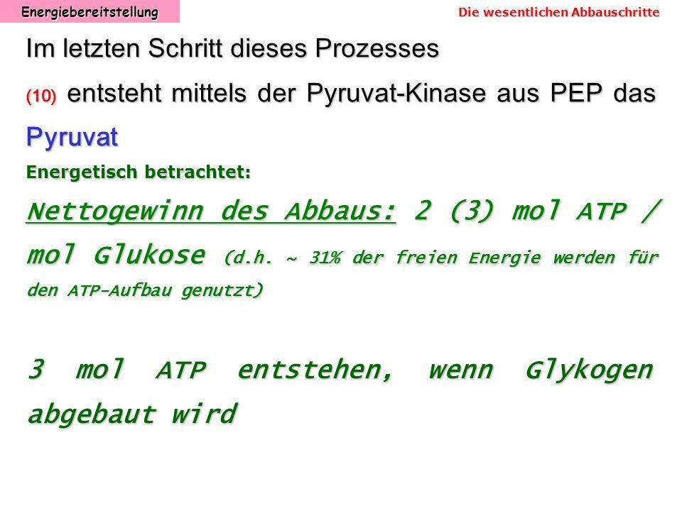 Energiebereitstellung Im letzten Schritt dieses Prozesses (10) entsteht mittels der Pyruvat-Kinase aus PEP das Pyruvat Energetisch betrachtet: Nettoge