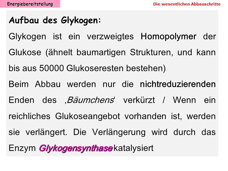 Energiebereitstellung Aufbau des Glykogen: Glykogen ist ein verzweigtes Homopolymer der Glukose (ähnelt baumartigen Strukturen, und kann bis aus 50000